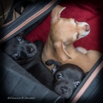 Sophie Puppies - 20160528-60575-WB-Hirsch puppies