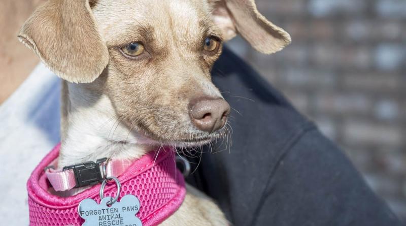 FPAR Adoptable Dog Sable