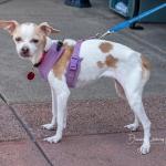 FPAR Adoptable Dog Piper